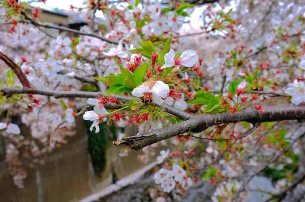 2015年4月4日 石神井川
