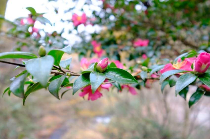黒川温泉。椿。